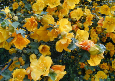 north county commercial landscaping flannelbush